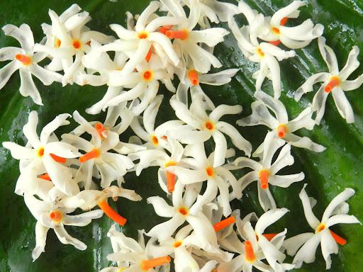 shiuli flower